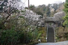 160306東慶寺ウメ1