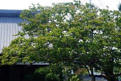 140729本興寺サルスベリ