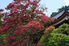 120807成福寺サルスベリ