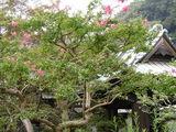 060812海蔵寺サルスベリ