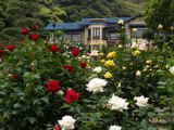 070519鎌倉文学館バラ2