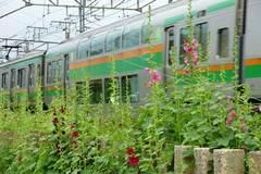 100529横須賀線タチアオイ