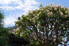 170818本覚寺サルスベリ3