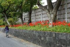 111001八幡宮ヒガンバナ3