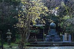 160114浄智寺ロウバイ1