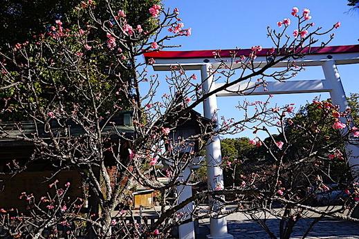 201223鎌倉宮カワヅザクラ