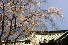090411妙本寺シダレザクラ
