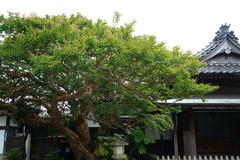 170730本覚寺サルスベリ
