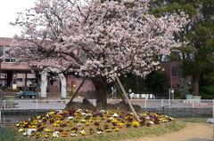 170220フラワーセンター玉縄桜