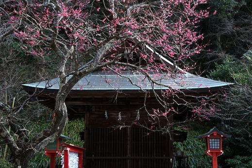 180128荏柄天神社ウメ2