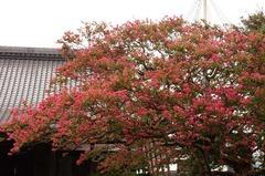 120814本興寺サルスベリ