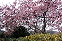 170220フラワーセンター河津桜