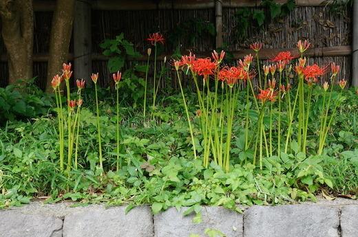 150916鶴岡八幡宮ヒガンバナ