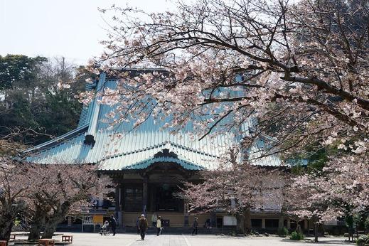 160331光明寺ソメイヨシノ1