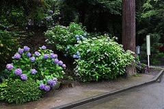 160623円覚寺アジサイ6