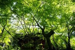 100508妙本寺新緑2