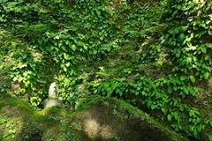 160518東慶寺イワタバコ