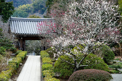 130215浄妙寺ウメ3