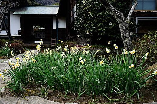 190211海蔵寺スイセン1