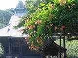 050716妙本寺ノウゼンカズラ