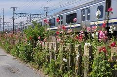 110622横須賀線タチアオイ
