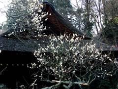100130東慶寺ウメ1