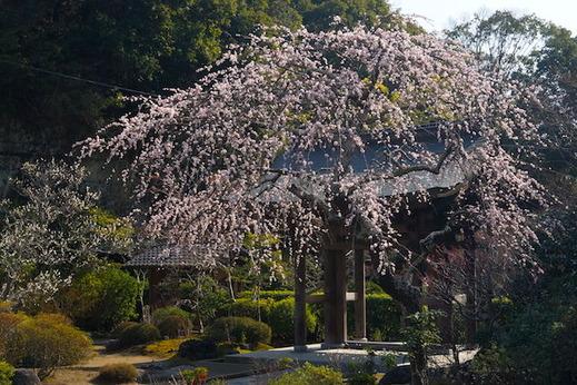 160228海蔵寺シダレウメ3