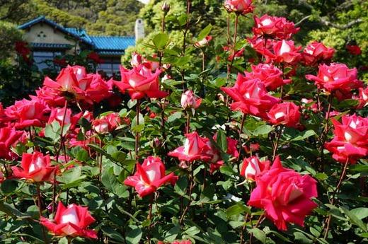 130512鎌倉文学館バラ2
