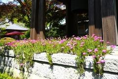 130526海蔵寺マツバギク
