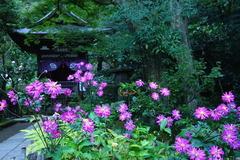 141019円覚寺シュウメイギク
