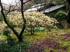 090314東慶寺ミツマタ