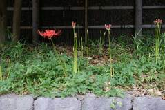 090912八幡宮ヒガンバナ