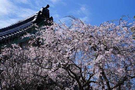 130321本覚寺シダレザクラ