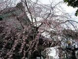 060319本覚寺しだれ桜