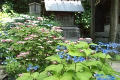 100612御霊神社アジサイ
