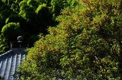 121016円応寺キンモクセイ1