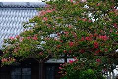 170802本興寺サルスベリ