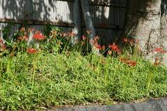 110928八幡宮ヒガンバナ