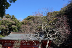 180114荏柄天神社ウメ