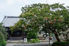 本興寺サルスベリ