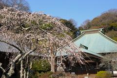 160228海蔵寺シダレウメ1