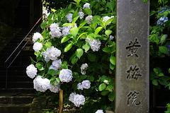 200624円覚寺アジサイ3