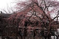 170326本覚寺シダレザクラ1