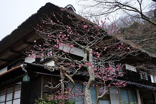 190211海蔵寺ウメ3