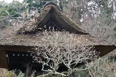 180211東慶寺ウメ