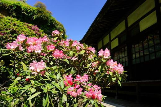 160504海蔵寺シャクナゲ
