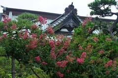 110820浄泉寺サルスベリ
