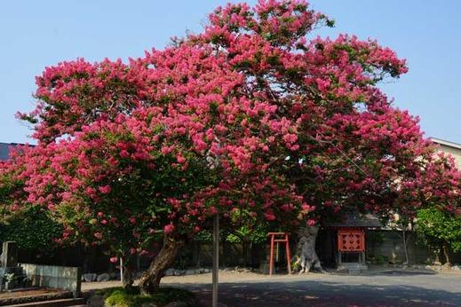 130812本興寺サルスベリ2