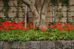 090919八幡宮ヒガンバナ