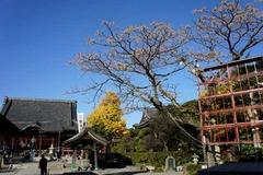 101212本覚寺センダン